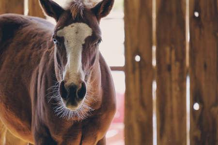 Horse portrait shows brown quarter horse looking at camera clos eup
