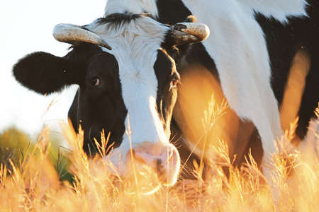 Holstein cow grazing on tall fall grass, looking at camera for farm animal portrait. Stock Photo