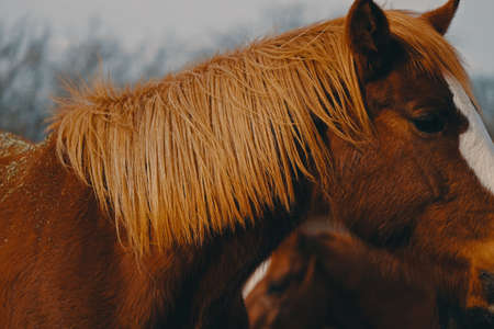 Sorrel mare horse profile view shows flaxen mane close up on windy day during moody winter. 스톡 콘텐츠