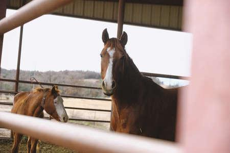 Cavallo curioso che guarda l'obbiettivo dal fienile, concetto di comportamento animale.