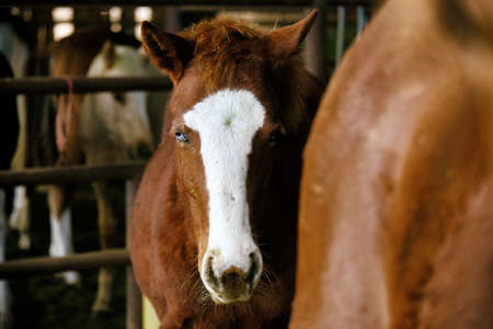 Young colt horse with blue eye looking at camera closeup on ranch. Banco de Imagens