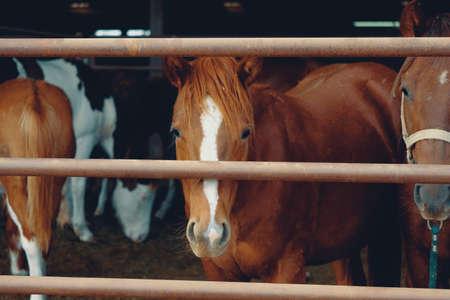 Group of young quarter horses behind fence looking at camera closeup.