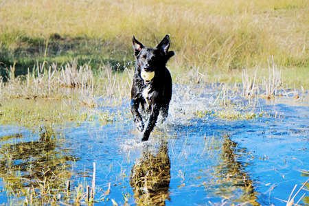 Black dog with ball running through water outdoors, active pet concept.
