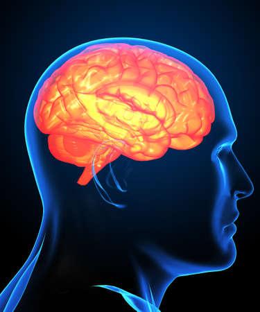 cerebro humano: Cerebro humano de rayos x  Foto de archivo