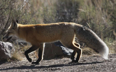 a lively fox trots off to look for his lunch in the grass Stock fotó