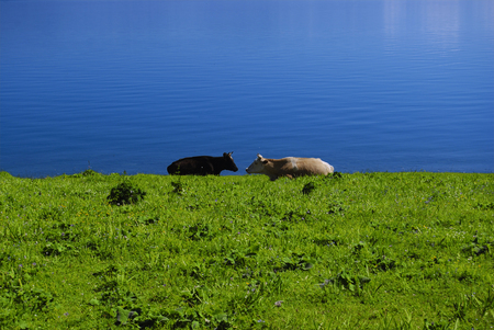 Two cows by the lake and tall grasses Stock Photo