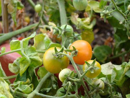 Tuin tomaten Stockfoto - 3614336