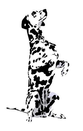 Dalmatian con la lana manchado sobre un fondo blanco