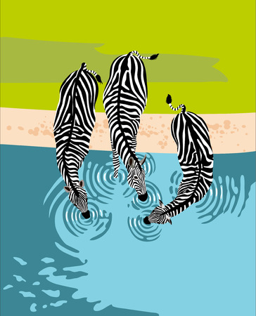 Three zebras drink water from the river, top view