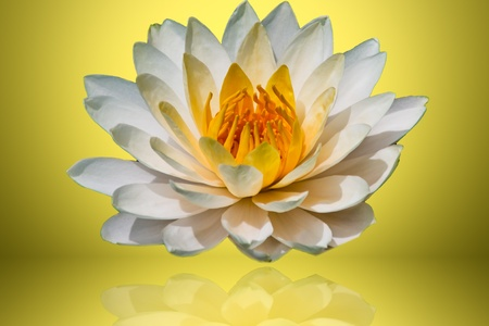 White lotus with light yellow background  photo