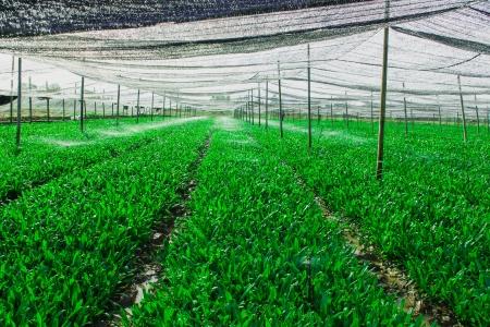 plot: Green vegetable plot are translucent black canvas covered