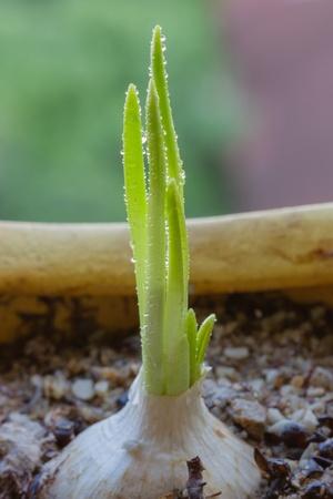 germinaci�n: Ajo growning en potes de germinaci�n de las semillas Foto de archivo