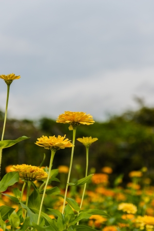 Yellow flowers that bloom in the sun in the garden. photo