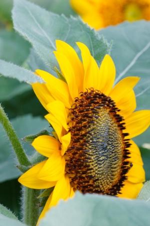 Sunflower close up Macro pollen  photo