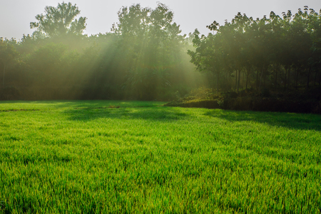 Morning air in paddy planted by with the light shining from the sun. photo