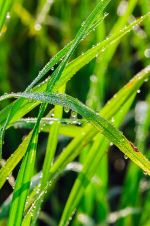 leaves of rice with dew drops close up photo