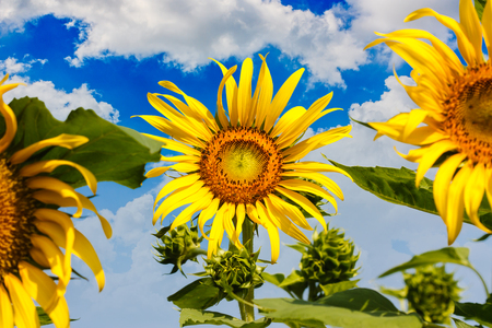 Sunflower with insects with a sky background. photo