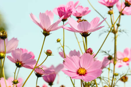Cosmos flowers in blooming with sunrise  in the morning photo