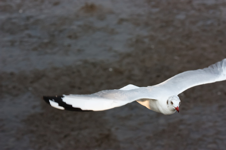 midst: Seagull flying through the midst low over the ground