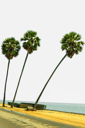 three palm trees: Three  palm trees isolated on white background