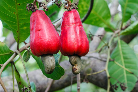 cashew tree: The cashew nut red on the tree  Stock Photo
