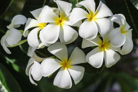 flower white frangipani bloom in the tropical sunlight  photo