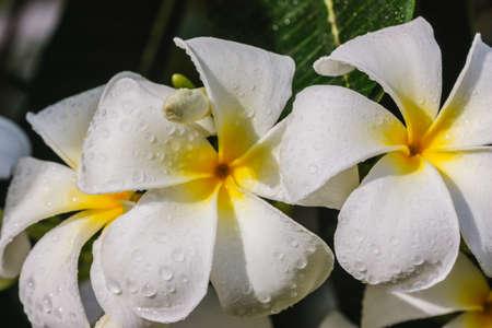 flower white frangipani bloom in the tropical sunlight  photo