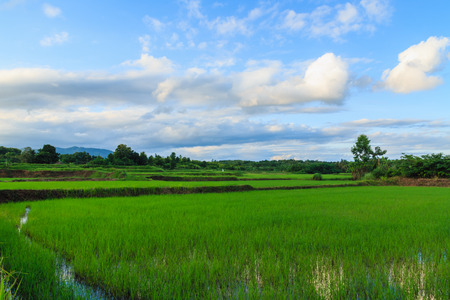 Green rice field and blue sky with white clouds  photo
