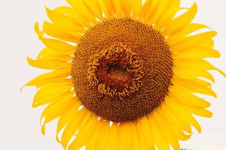 Sunflower bloom on with white background. photo