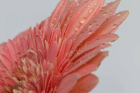 Close up of drops water on chrysanthemum petals on  background. photo