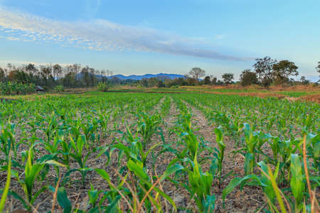 Landscape of field with green corn and blue sky photo