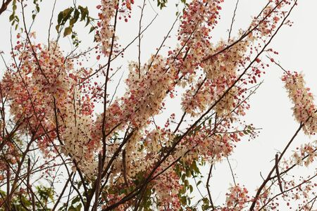 Tree pink flower or Cassia bakeriana Craib is beautiful tropical flower photo