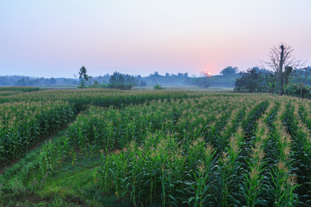 Morning sunrise area with field  agriculture asia  corn photo
