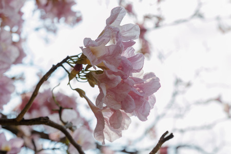 rosea: Tabebuia rosea  flower on soft beautiful background