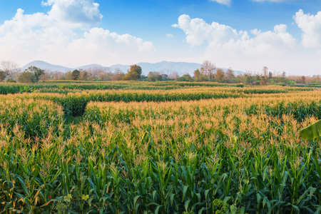 area growth with field  agriculture asia  corn photo
