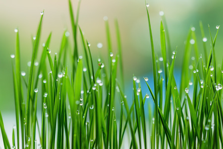 Fresh grass green with dew drops close up