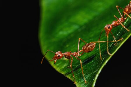 red ant: Red ant on a leaves with black background Stock Photo