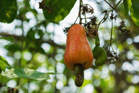 cashew tree: Fresh Cashew nuts are ripe on the tree