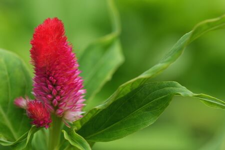 cockscomb: Cockscomb flowers pink  on green nature background