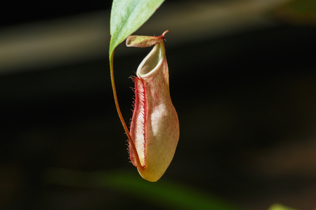 nepenthes: Insectivorous plants Nepenthes Ampullaria  close up