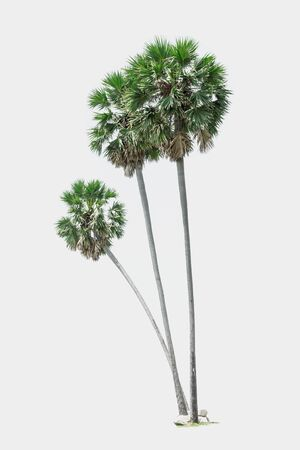 three palm trees: Three palm trees isolated white background. Stock Photo