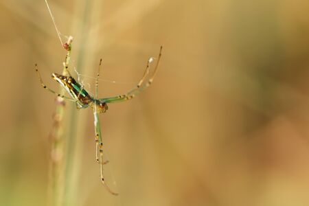 dew drop: Green Spider  on spider web with small leaves grass