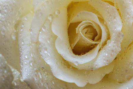 Rosa bianca con gocce d'acqua su uno sfondo sfumato.