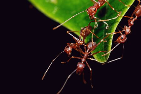 red ant: Red Ant team on a leaves with black background