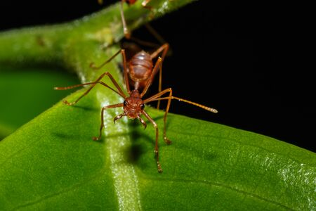red ant: Red ant on a leaves green with black background