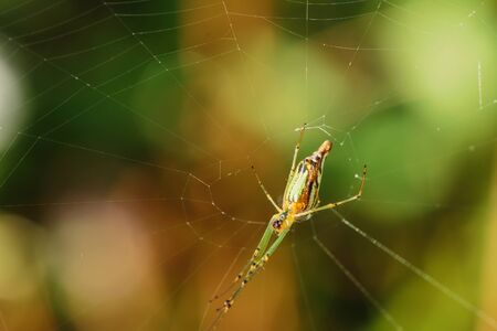 entrap: Green Spider  on spider web with small in nature