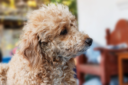 haired: Dog poodle haired brown  on the house.