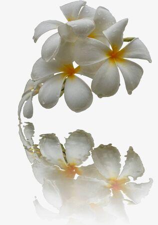 plumeria on a white background: White plumeria with isolated on white background Stock Photo