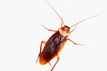 exterminate: Cockroach on white background