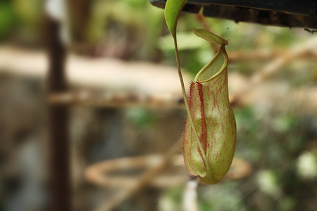 insectivorous: Insectivorous plants Nepenthes Ampullaria  close up